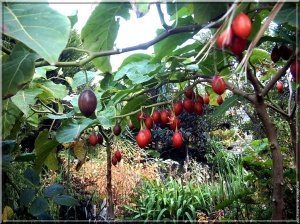 tamarillo-1c-port-07