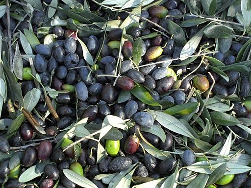 oliva-taggiasca