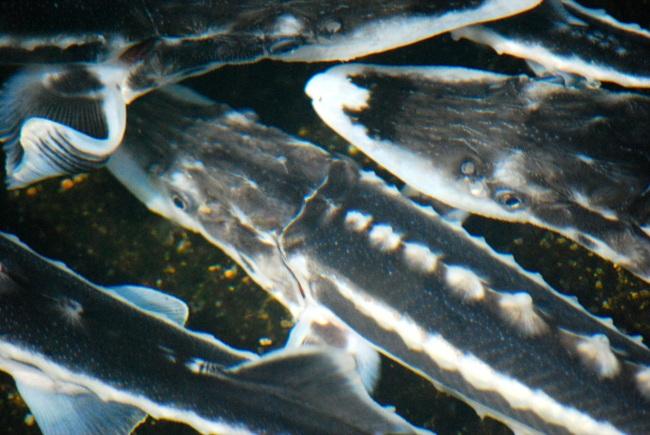 Acipenser Stellatus avannoteria esterna